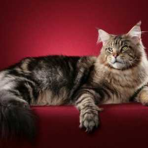 Maine Coon Imagini, Maine Coon Wallpaper